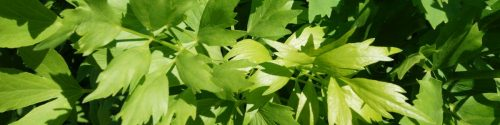 Lovage Allergy Test: