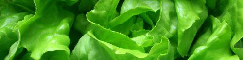 Lettuce Allergy Test