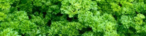 Parsley Allergy Test