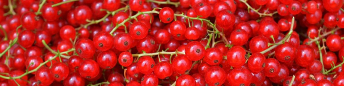 Red Currant Allergy Test